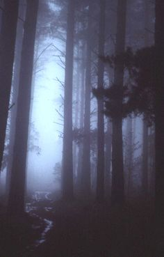 forest, trees, fog, nature, photography