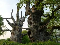 Gog and Magog: The Ancient Oaks of Avalon  Glastonbury, England  Gog and Magog were ancient giants of Britain in the time of Brutus the Trojan. The trees are said to be more than two thousand years old