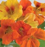 Nasturtium - delicious in a salad!