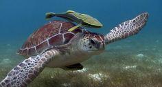 Snorkeling with turtles tour in Akumal Bay, Riviera Maya - Mayan Explore