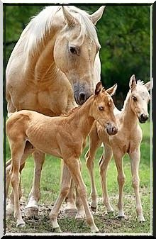 Awww mama and twin foals, which is rare by the way. Twin foals usually die. So its rare to see a living pair of twins