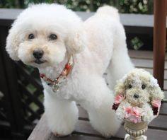 2016.10.11 * 昨日はトリミングdayでした✂ * 下北沢はカレーフェスティバルの真っ最中で、いつもより混んでいました😰 * 息子と下北沢で待ち合わせ🎶 ミラにお土産を持ってきてくれました🎁 * 天然の苔をもとに作られたプリザドール🐩 ミラにそっくりです🎶 * 人形町のお祭りで買ったそうです✨ ありがとう💕 大切にするね🎵 * 今週もよろしくお願いします🙇 * #toypoodle#poodle#poodlelover#all_dog_japan#east_dog_japan#ig_dogphoto#todayswanko#私の可愛いミラ#いつでも一緒#シニア犬#白犬#11歳#一眼レフ#迷子札付けよう隊#急に寒くなったので風邪にご用心#プリザドール#下北沢#バブルス *