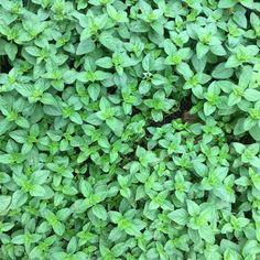 #marjoram #herbs #herbgarden #groundcover becoming #invasive
