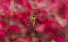 Spider - pink, spider, macro, web, insect
