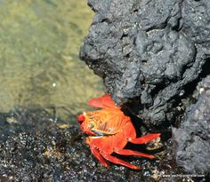 Bright red 'Sally Lightfoot' crab - Isla Isabela of the Galapagos Islands.