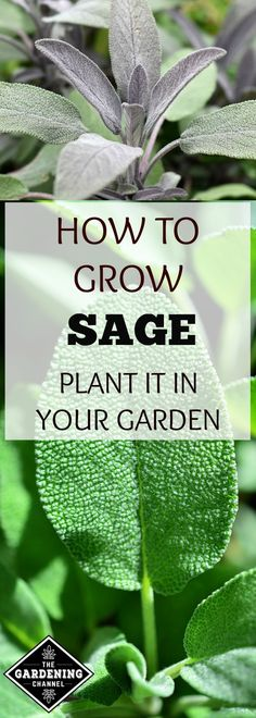 Learn how to plant and grow sage in the garden and herb garden. Consider growing sage as a companion plant.