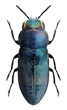 Anthaxia amasina (Daniel, 1903) F Buprestiadae