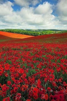 Wild Flowers Inspiration : A Poppy Field near the South Coast of England - Flowers.tn - Leading Flowers Magazine, Daily Beautiful flowers for all occasions Beautiful World, Beautiful Places, Beautiful Pictures, Belle Photo, Amazing Nature, Beautiful Landscapes, Wonders Of The World, Wild Flowers, Poppy Flowers