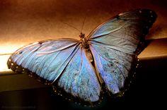 Powder Blue butterfly in New Orleans    www.wunderground.com