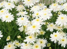 pełne kwiaty ZŁOCIEŃ WIRRAL SUPREME sadzonki
