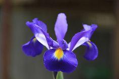 Purple Iris - Summer