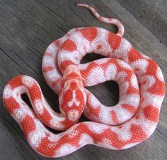 Candy cane corn snake (selectively bred for lots of white) Pretty Snakes, Cool Snakes, Colorful Snakes, Beautiful Snakes, Cute Creatures, Beautiful Creatures, Animals Beautiful, Cute Animals, Cute Reptiles