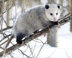 opossum.jpg (490×400)