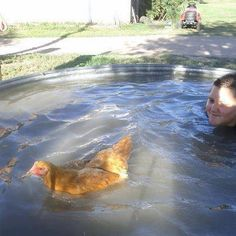 Chuck the swimming chicken!  Raised with ducks and loves to swim by Kristy Schneider in Sterling, CO