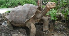 lonesome george-galapagos' most eligible bachelor