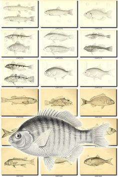 FISHES-15-bw Collection of 220 black-and-white vintage images