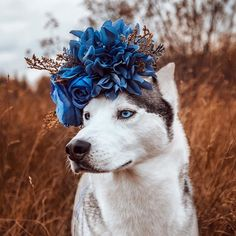 Siberian Husky adorned by blue flowers on his head in Ontario, Canada by Joey Tribbiani Cut Animals, Cute Baby Animals, Animals And Pets, Funny Animals, Really Cute Puppies, Cute Dogs And Puppies, Doggies, Beautiful Dogs, Animals Beautiful