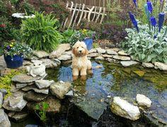 Bentley loves the backyard water feature
