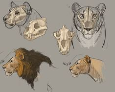Human Figure Drawing Animal Drawing Bundle - The Art of Aaron Blaise Lion Anatomy, Anatomy Drawing, Cat Drawing, Animal Anatomy, Skull Anatomy, Sketch Drawing, Animal Sketches, Animal Drawings, Art Sketches
