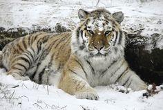 tigers   Tiger Wallpaper - Tigers Photo (9981612) - Fanpop fanclubs