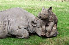 Baby Rhino and Mom