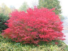 Resultado de imagen para arbusti ornamentali vesnic verzi