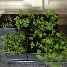 La piantagione di erbe aromatiche cresce rigogliosa: prezzemolo, origano, basilico, coriandolo, melissa e timo #ortoincasa
