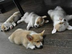 Corgi puppies all tuckered out! Cute Corgi, Corgi Dog, Cute Puppies, Dogs And Puppies, Dog Cat, Teacup Puppies, Puppy Husky, Baby Animals Pictures, Animals And Pets