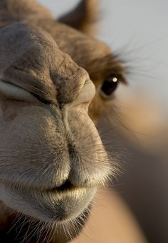 Baby camel is so cute with its eyes