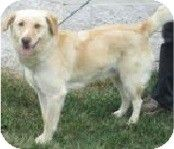 Hammonton, NJ - Golden Retriever/Labrador Retriever Mix. Meet bacon, a dog for adoption. http://www.adoptapet.com/pet/11049957-hammonton-new-jersey-golden-retriever-mix