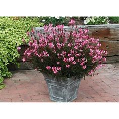 Find 140mm Gaura Passionate Pink Butterfly Bush at Bunnings Warehouse. Visit your local store for the widest range of garden products.