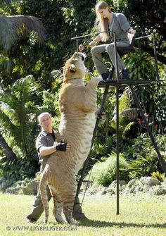 Liger- Largest cat. This one is a mix between a male lion and a female tiger. It's nearly twice the size of a lion or tiger.