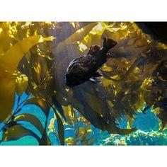 #fish #monterey #montereybayaquarium #aquatic #art #sunbeam #montereylocals - posted by Chevn https://www.instagram.com/spiltcoffeev - See more of Monterey Bay at http://montereylocals.com