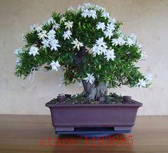 200 unids Semillas de Gardenia (Jazmín Del Cabo), bonsai semillas de flores, olor y flores hermosas plantas en maceta para el hogar y jardín