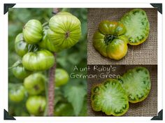 Learn how to grow Aunt Rubys German Green Heirloom Tomato on the blog this week.