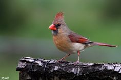 Cardinal by Rusty Wood, via 500px