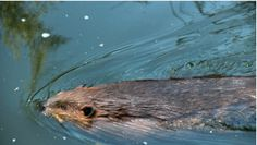 Vancouver's former Olympic Village is now home to urban beavers -- PRI's The World -- June 03, 2016 -- By Andrea Crossan