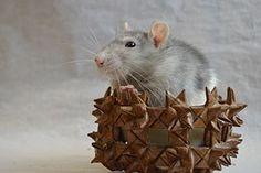 Rat, Decoratieve, In Een Mand, Dier