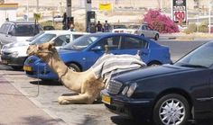 Parked camels. | 35 Things You See Every Day In Dubai