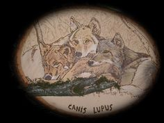 Canis Lupis