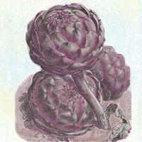 Violetta artichokes