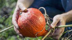Der Hokkaido-Kürbis ist besonders mild im Geschmack, kalorienarm und reich an Vitaminen – er erfreut sich zunehmender Beliebtheit und wird im Herbst gerne als Suppe oder als Ofengemüse gegessen. In Ihrem Garten können Sie  das orangefarbene Kürbis...