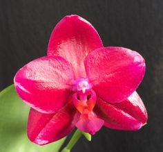phalaenopsis mituo king star | Big Leaf Orchids, Fragrant and Novelty Phalaenopsis