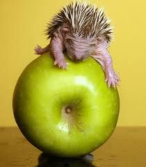 cute baby porcupine (or hedgehog?) on an apple All Gods Creatures, Cute Creatures, Beautiful Creatures, Animals Beautiful, Cute Baby Animals, Funny Animals, Animal Babies, Animals Images, Funny Babies
