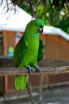 Parrot - Nicaragua