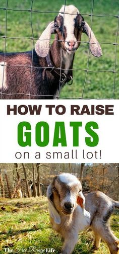 Just what I needed. Think you can't raise goats on a small lot? Think again, learn how to make room for goats on a very small homestead and get started today! Raising Farm Animals, Raising Goats, Raising Rabbits, Mini Goats, Baby Goats, Backyard Farming, Chickens Backyard, Small Goat, Small Farm