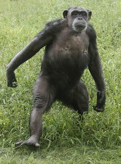 chimpanzee climbing - Google Search