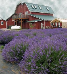 lavender landscape designs | Landscape Quilt Ideas - Lavender Fields with Barn in Background