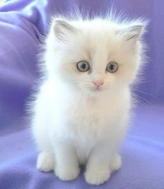 Ragdoll - Most Affectionate Cat Breeds