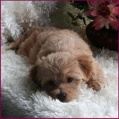 Flora's Maltipoo Puppies 4 Sale, Maltepoo, Maltese Poodle, Hybrid - Puppy Breeders Specializing in Healthy, Beautiful Mixed Breeds. Maltese Poodle Puppies, Maltipoo Dog, Yorkie Dogs, Teacup Puppies, Cute Puppies, Poochon Puppies, Cute Dogs, Dogs And Puppies, Doggies